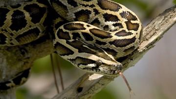 Udaremniono przemyt ponad 160 pytonów i węży boa