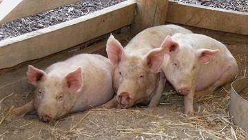 Wybiją 17 tys. świń. Epidemia ASF w Bułgarii