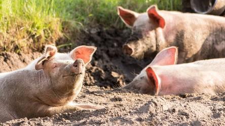 Huawei inwestuje w farmy świń. To sposób na ratowanie biznesu z powodu sankcji USA