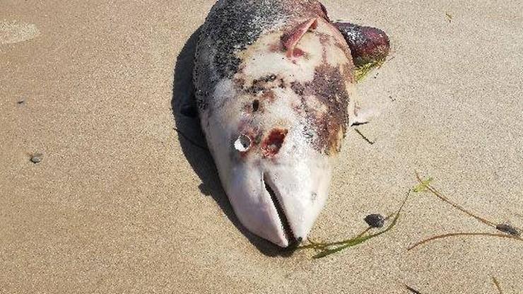 15 martwych fok tylko jednego dnia. Za śmiercią wielu z nich stoi człowiek
