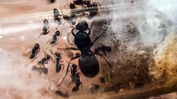 Paczka z żywymi mrówkami przechwycona w Zabrzu. Przesyłkę wysłano z Ukrainy