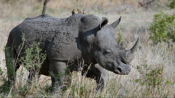 Nosorożec w parku safari zaatakował auto. W środku była kobieta [WIDEO]