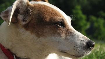Włoska mafia wydała wyrok śmierci na psa tropiącego narkotyki