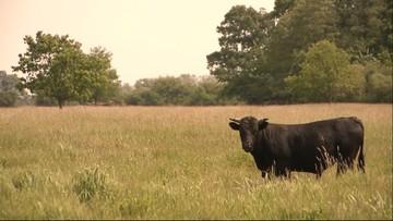 Byk zabił rolnika. Niósł go na rogach przez kilkadziesiąt metrów
