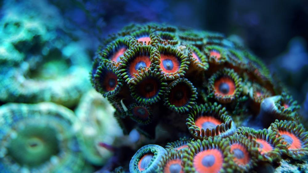 Okazuje się, że transplantacja jest nadzieją na przetrwanie koralowców